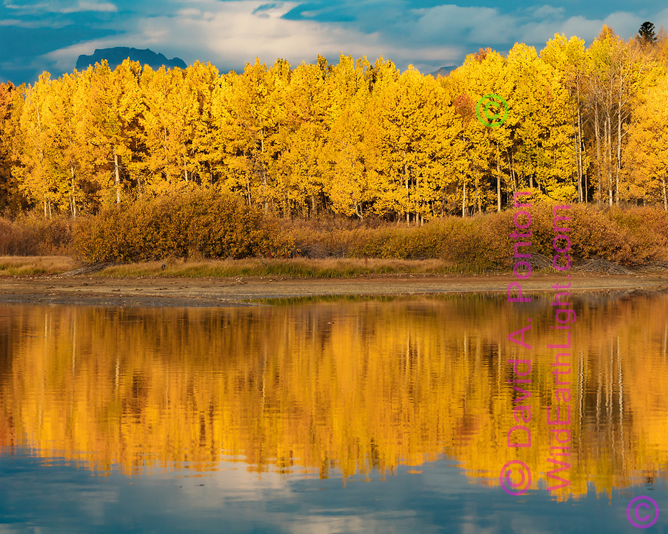 Autumn aspen stand reflected in a pool in the Snake River, Greater Yellowstone Ecosystem, Wyoming. © David A. Ponton