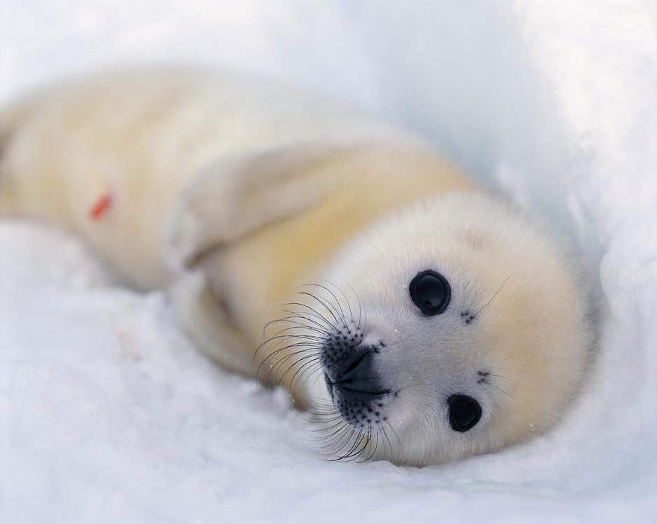 New born Harp Seal, Pagophilus groenlandicus, White Sea; Russia