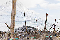 Cod stockfish on drying rack with net covering to protect from birds, Reine, Lofoten Islands, Norway