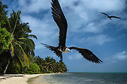 Magnificent Frigatebird (Fregata magnificens)<br /> Halfmoon Caye<br /> Lighthouse Reef Atoll<br /> Belize<br /> Central America