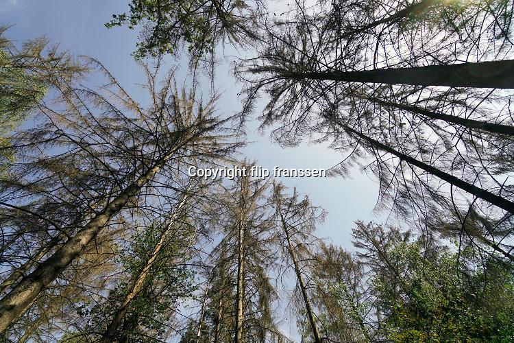 Nederland, Berg en Dal, 25-8-2019Door de aanhoudende droogte, twee jaar op rij, hebben de bomen in de bossen veel te lijden. Deze naaldbomen, dennenbomenm zijn inmiddels bruin en dood, gestorven .Foto: Flip Franssen