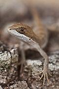 Contagem_MG, Brasil.<br /> <br /> Detalhe de um lagarto.<br /> <br /> Lizard detail.<br /> <br /> Foto: JOAO MARCOS ROSA / NITRO