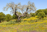Countryside landscape of wildflower meadow and pine and oak trees in springtime, near Castro Verde, Baixo Alentejo, Portugal, Southern Europe