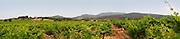 Domaine l'Aigueliere. Montpeyroux. Languedoc. Grenache grape vine variety. France. Europe. Vineyard.
