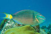 Stoplight Parrotfish (Sparisoma viride)<br /> BONAIRE, Netherlands Antilles, Caribbean<br /> HABITAT & DISTRIBUTION: Reefs from South Florida, Bahamas, Caribbean & Bermuda