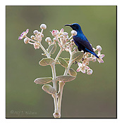 Purple Sunbird on Sodom Appel Tree, Rajasthan, India.  Nikon D810, Sigma 150-600mm @ 600mm, f6.3, 1/800sec, ISO800, Aperture priority