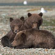 Three Alaskan Brown Bear (Ursus middendorffi) cubs resting. Katmai National Park, Alaska