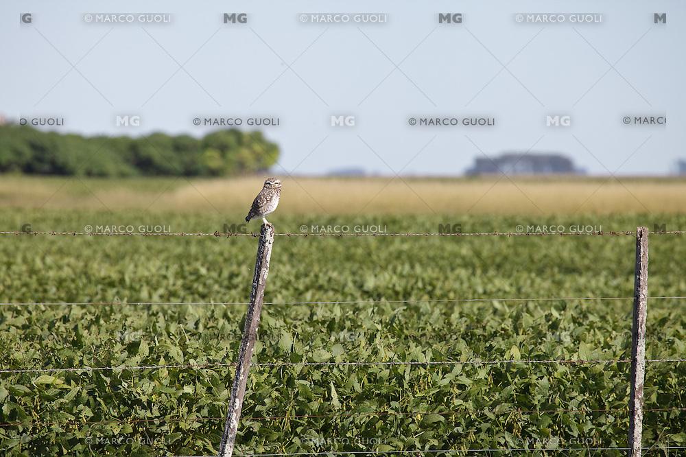LECHUCITA VIZCACHERA (Athene cunicularia) EN UN ALAMBRADO, CARMEN DE ARECO, PROVINCIA DE BUENOS AIRES, ARGENTINA