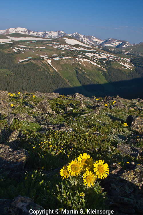 Alpine sunflowers, (Hymenoxys grnadiflora) found on the alpine tundra along Trail Ridge Road, Rocky Mountain National Park. Colorado.