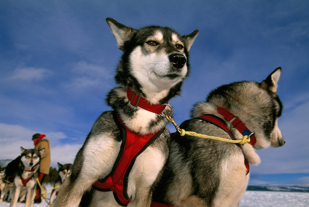 Dog sledding, Saltoluokta, Sarek National Park, Lapland, Sweden