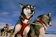 Dog sledding, Saltoluokta, Sarek National Park, Lapland, Sweden