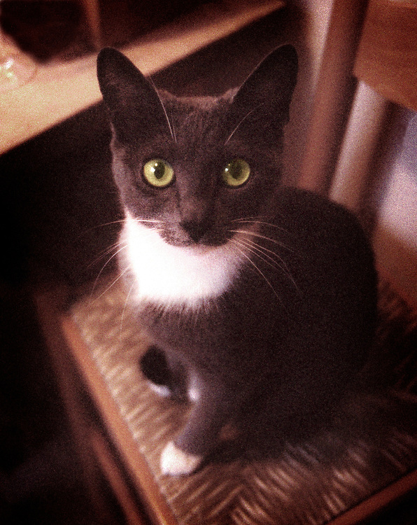 beautiful gray and white cat with big green eyes sitting on chair