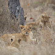 African Lion, cubs of a pride. Lodolozi Game Reserve, South Africa.