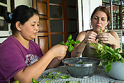 01 APRIL 2013 - BANGKOK, THAILAND: Amy Hupe (RIGHT) and Mina Thapa, a Nepali who works with the Hupes, pluck basil for the pesto Mina makes and they sell to help support their work.    PHOTO BY JACK KURTZ
