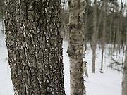 Birch Trees in Winter Woods