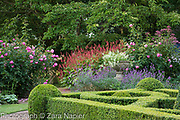 Buxus - box parterre, Stone urn with Scaevola 'White Wonder' -Fairy Fanflower, Rosa 'Royal Jubilee' - Pink English Rose by David Austin, Erysimum 'Bowles Mauve' and Persicaria affinis 'Superba' RHS AGM - September