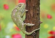 Common Chameleon, Chamaeleo chamaeleon, Israel,