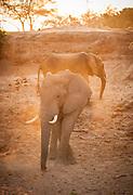 Desert Elephants in sunlight, The Kaokoveld Desert, Kaokoland, Northern Namibia, Southern Africa
