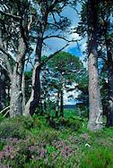 Rothimurchus Forest, Scottish Highlands, UK