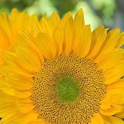 Sunflower detail. Camarillo,CA.USA.