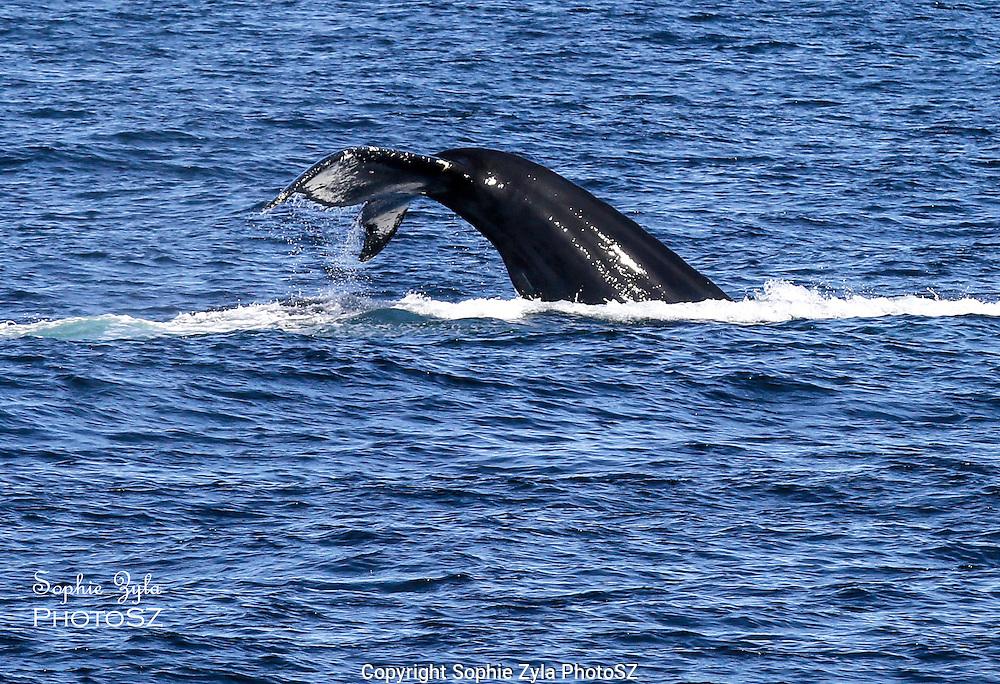 Humpback Whale of Stellwagen Bank National Marine Sanctuary Provincetown