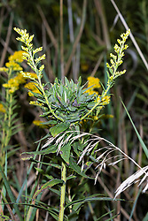 Tall Goldenrod (Solidago altissima)