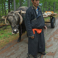 A cart driver with his ox stands in a larch forest near Lake Hovsgol and the Horidal Saridag Mountains in Hovsgol National Park, Mongolia.