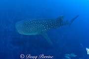 whale shark, Rhincodon typus, swims along deep reef slope, past spawning aggregations of mutton snappers, Lutjanus analis, and cubera snappers, Lutjanus cyanopterus, Gladden Spit and Silk Cayes Marine Reserve, Belize, Central America ( Caribbean Sea )
