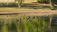 Canada Goose (Branta canadensis). Image taken with a Nikon D2xs camera and 80-400 mm VR lens.