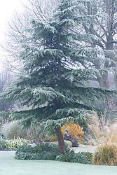 Cedrus deodara - Cedar in winter. Statue of Boy on Rock beyond