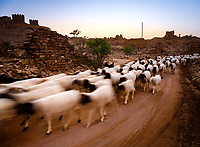 """JAISALMER, INDIA - CIRCA NOVEMBER 2018: Sheep outside the ruins of Khabha Fort, outside Jaisalmer city. Jaisalmer is also called """"The Golden City, and it is located in Rajasthan.  The town stands on a ridge of yellowish sandstone, and is crowned by the ancient Jaisalmer Fort."""