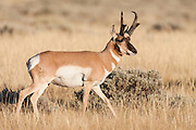 Pronghorn antelope buck in Wyoming