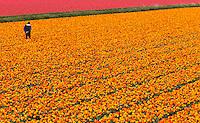 DE ZILK - bloembollenveld met tulpen.  ANP COPYRIGHT KOEN SUYK