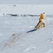 A red fox searches and catches dinner in witner in the Hayden Valley of Yellowstone.
