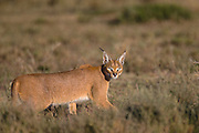 A male caracal (Caracal caracal) hunting in the early morning sun, Ndutu, Ngorongoro Conservation Area, Tanzania, Africa