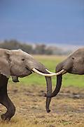 Young male elephants in Amboseli National Park, Kenya