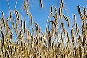 Nederland, Overasselt, 23-7-2015Rogge, landbouw, voedselproductie, graansoort, oogstFoto: Flip Franssen