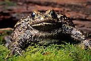 Portrait of a western toad (Bufo boreas), Oregon. Temporarily captive.