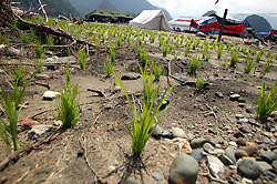 A trial plot of rice planted in the sand close to the tents that house the remaining members of Leupung Village. Oxfam works in Leupung on a number of projects including livelihoods, shelter and others.
