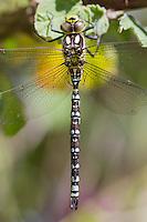 Southern Hawker dragonfly, Aeshna cyanea, resting on vegetation, Wirral - July