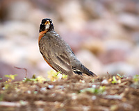 American Robin. Marriott Residence Inn, Boulder Colorado. Image taken with a Nikon D2xs camera and 200 mm f/4 macro lens.