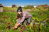 Farmer working out in the field, picking rainbow chard, at Grange Farm, located on the rooftop in Navy Yard