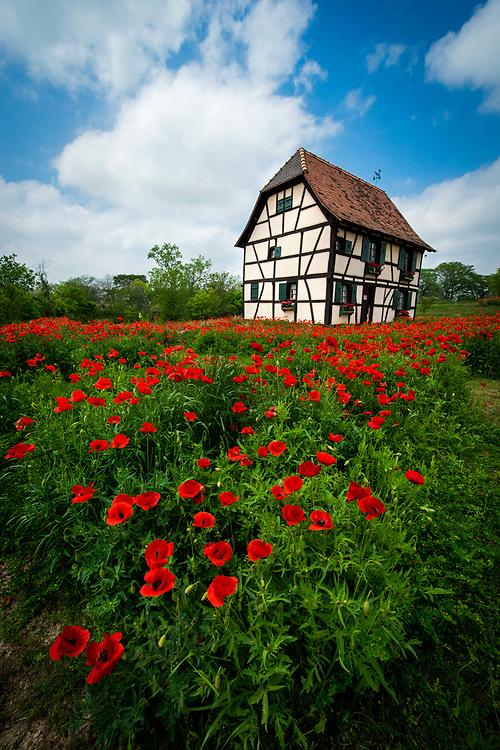 Alsatian Red Poppies, Steinbach Haus Visitor Center, Castroville, Texas