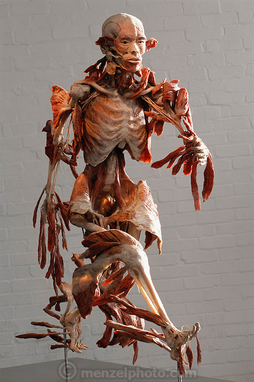 """""""The Runner,"""" a piece from Gunther von Hagens' Body Worlds exhibits. Body Worlds is a traveling exhibit of real, plastinated human bodies and body parts. Von Hagens invented plastination as a way to preserve body tissue and is the creator of the Body Worlds exhibits.."""
