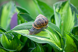 Snail on hosta leaf