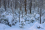 Boreal forest in winter<br />Ear Falls<br />Ontario<br />Canada
