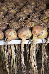 Onion 'Sturon' being dried and stored in drying racks at Rousham House