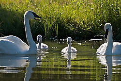 Trumpeter Swans and cygnets, Jackson Hole, Wyoming