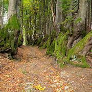 Oak trees (Quercus) L'allée des Géants, Ces arbres de 400ans,  Bois Noirs, Saint Nicolas de Biefs, Montagne Bourbonnaise, Auvergne, France,common beech