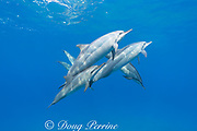 Hawaiian spinner dolphins or Gray's spinner dolphin, Stenella longirostris longirostris, Hookena, South Kona, Hawaii ( the Big Island ), USA ( Central Pacific Ocean )